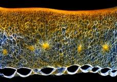 De dwarsdoorsnede van de het fruitvruchtwand van de Spaanse peperpeper (annuum Capsicum) Royalty-vrije Stock Afbeelding