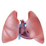 De dwarsdoorsnede van het hart en longenanatomie Stock Afbeeldingen