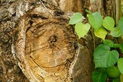 De dwarsdoorsnede van het ronde hout Stock Foto's