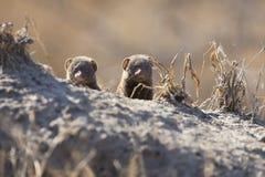 De dwergmongoesfamilie geniet van veiligheid van hun hol Stock Fotografie