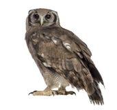 De eagle-uil van Verreaux - Bubo-lacteus stock foto