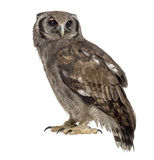De eagle-uil van Verreaux - Bubo-lacteus (3 jaar oud) royalty-vrije stock foto