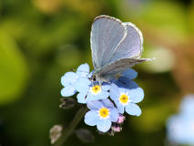 De echo van Echo Azure Butterfly - Celastrina- Stock Fotografie