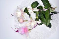 De echte kleurrijke fuchsiakleurig bloem met groen doorbladert Geïsoleerd op de witte achtergrond Royalty-vrije Stock Afbeelding