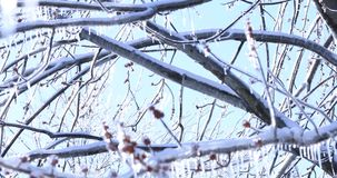 De echte ramp van de weerlente in Canada Smeltende ijskegel en dalende glanzende dalingen over bevroren achtergrond Esdoornboom m stock footage