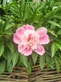 De echte ster van dit seizoen: een roze pioenbloem royalty-vrije stock afbeelding