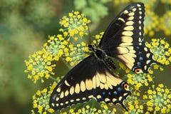 De Ecuatoriaanse vlinderzitting op bloem Royalty-vrije Stock Afbeelding