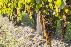 De edele verrotting van een wijndruif, botrytised druiven stock foto's