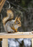 De eekhoorn Royalty-vrije Stock Foto's