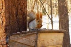De eekhoorn Stock Foto's
