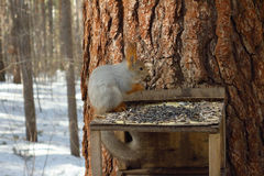 De eekhoorn Royalty-vrije Stock Afbeeldingen