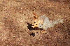 De eekhoorn Stock Afbeelding