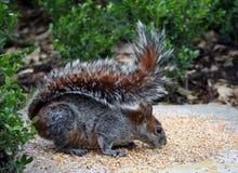 De eekhoorn Stock Fotografie