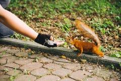 De eekhoorn aan hand in werking die wordt gesteld die denkt die iets kan eten royalty-vrije stock foto's
