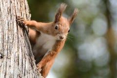 De eekhoorn beklimt de boom en het gras stock afbeelding