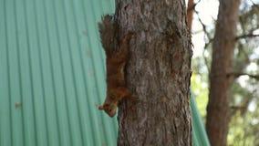De eekhoorn beklimt een boom stock video