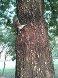 De eekhoorn beklimt op de boom Stock Afbeelding