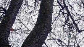 De eekhoorn beklimt op boom die en iets zoeken kruipen stock videobeelden