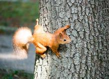 De eekhoorn beklimt op een boom in de zomer Stock Foto's
