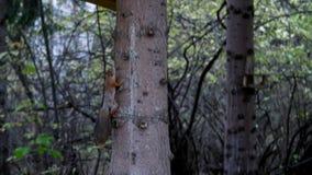 De eekhoorn beklimt in zijn het voeden trog op de boom stock video