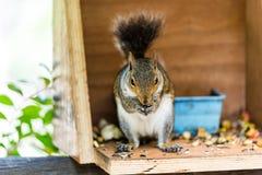 De eekhoorn die sommige noten kauwen het vond royalty-vrije stock fotografie