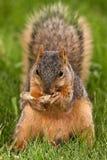 De Eekhoorn die van de vos een Geschilde Pinda eet Stock Afbeelding