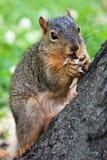 De Eekhoorn die van de vos een Pinda eet Stock Foto's