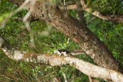 De eekhoorn die van Finlayson zich op een boomboomstam bevinden in zonlicht lookin Stock Foto