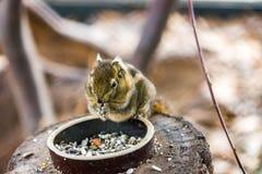 De eekhoorn die van Tamiopsswinhoei noot op het houten bureau eten, mooi aardig klein dier stock fotografie