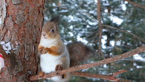 De eekhoorn draagt zaden van voeder en eet hen op een pijnboomtak stock footage