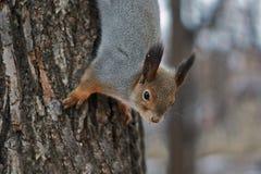 De eekhoorn in een bos krijgt voedsel Stock Foto's
