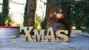De eekhoorn eet De achtergrond van Kerstmis stock videobeelden
