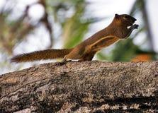 De eekhoorn eet een banaan Royalty-vrije Stock Afbeeldingen