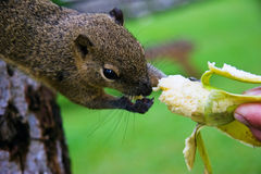 De eekhoorn eet een banaan Stock Afbeeldingen