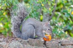 De eekhoorn eet fruit stock afbeelding