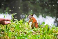 De eekhoorn eet noten Royalty-vrije Stock Foto's
