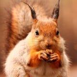 De eekhoorn eet noten op de bank Stock Foto