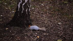 De eekhoorn eet ter plaatse noten dichtbij berk HD, 1920x1080, langzame motie stock footage
