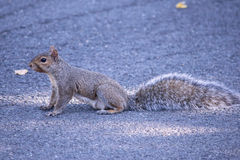 De eekhoorn gaat waar? Royalty-vrije Stock Foto