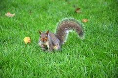 De eekhoorn in het park eet de geroosterde pinda's Royalty-vrije Stock Fotografie