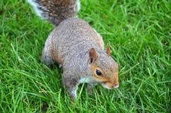 De eekhoorn in het park eet de geroosterde pinda's Stock Afbeeldingen