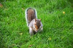 De eekhoorn in het park eet de geroosterde pinda's Royalty-vrije Stock Foto