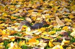 De eekhoorn in het park eet de geroosterde pinda's Royalty-vrije Stock Afbeeldingen