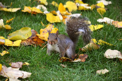 De eekhoorn in het park eet de geroosterde pinda's Royalty-vrije Stock Foto's