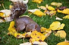 De eekhoorn in het park eet de geroosterde pinda's Stock Foto