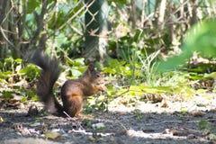 De eekhoorn houdt de gepelde hazelnoot in haar handen stock fotografie