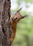 De eekhoorn kijkt uit wegens een boomboomstam Stock Foto's
