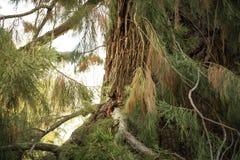 De eekhoorn kijkt van de tak van boom i Stock Fotografie