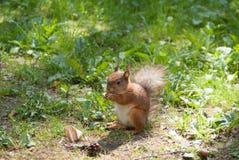 De eekhoorn knaagt aan een noot Royalty-vrije Stock Afbeelding