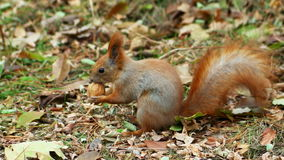De eekhoorn knaagt aan een noot stock video